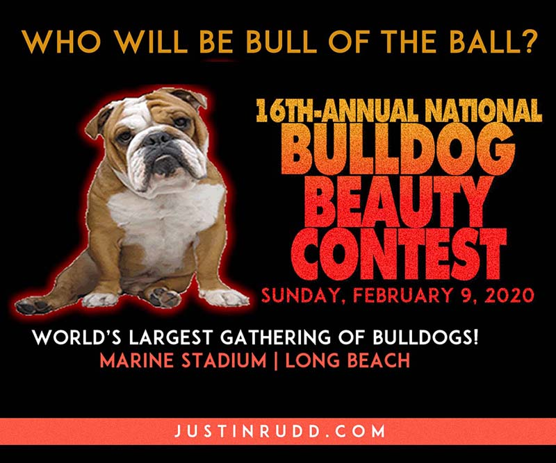 bull dog beauty graphic